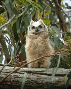 Great-Horned-Owl-baby-best-DSC07005-(2)