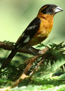 web-Black-headed-Grosbeak-in-Redwoods-v-b