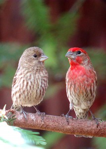 web--House-Finch-with-juvenile-DSC00918