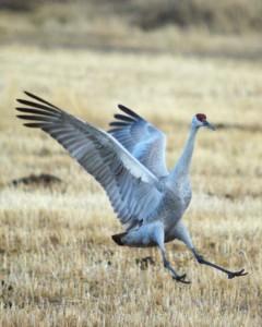 web-Sandhilll-Crane-landing