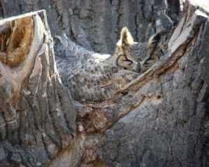 web great horned owl on nest