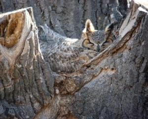 web great horned owl on nest