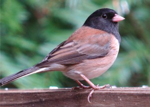 web male-junco-best-DSC03132-(2)